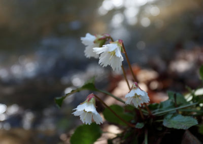 Oconee Bells and Stream