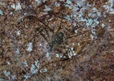 Rare Lampshade Spider (Hypochilus coylei). Southern Blue Ridge Escarpment